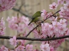Kyoto - Temple de Toji, arbre 'sakura', oiseau Uguisu