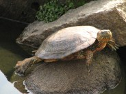 Nara - Etang de Sarusawa-Ike, tortue