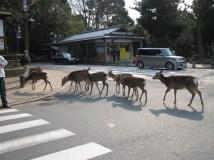 Nara - Parc, les daims librent dans la ville