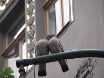 Prague - Au hasard des rues, pigeons 'amoureux'
