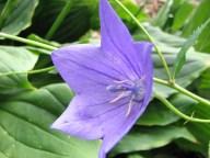 Prague - Jardin botanique, fleurs