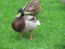 Lough Neagh - Canard au bec tordu