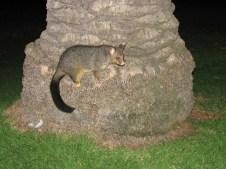 Melbourne - Animaux - opossum