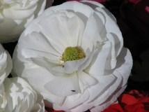 Melbourne - Parc 'Carlton garden', fleur