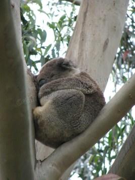 Sud Victoria - 'Great Ocean road' - Animaux, koala