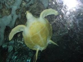 Sydney - Aquarium, tortue