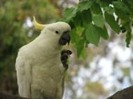 Sydney - Jardin botanique - Oiseaux, cacatoes à huppe jaune