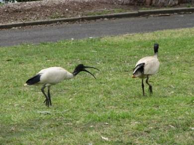 Sydney - Jardin botanique - Oiseaux, ibis à cou noir