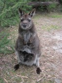 Coles Bay - Wallabie