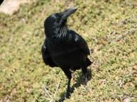 Kangaroo island - Flinders chase - National Park, oiseau