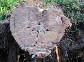 Volcan Ijen - tronc d'arbre en forme de coeur