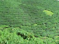 Cameron Highlands - Plantation de thé