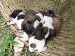 Lac Inle - Sur le chemin, petits chiens abandonnés destinés à mourir