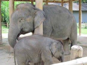 Lampang - Centre de conservation des éléphants - Nursery