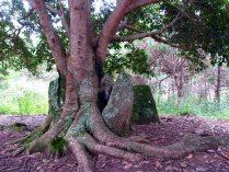 Phonsavanh - Plaines de jarres - Site 2, arbre qui a poussé dans une jarre cassée