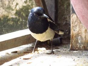 Sapa - Au hasard des rues, oiseaux