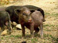 Sapa - Ta Phin Village - Au hasard des chemins, cochons