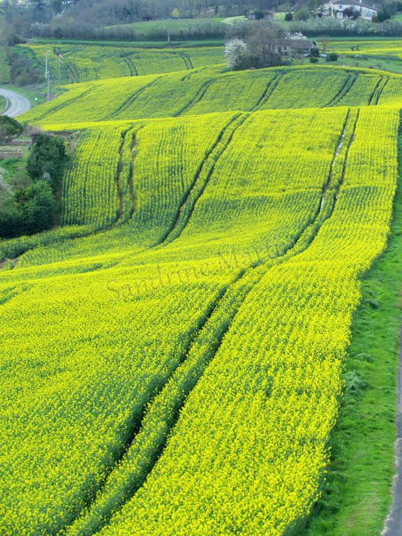 Tarn - Castelnau-de-Montmiral, vue sur les champs de colza