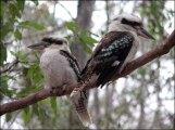 Brisbane - Daisy Hill Koala Reserve, Kookaburra