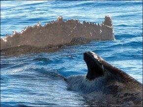 Hervey Bay - Baleine à bosse