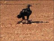 Sur la route d'Uluru - Aigle mangeant les restes d'un kangourou