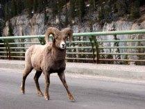 Parc national de Jasper - Bélier au milieu de la route