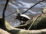 Vancouver - Stanley Park - Tortues