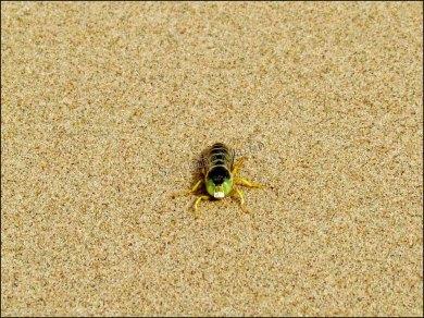 Dunes de sable 'Khongor' - Abeille (ou pas sur !)