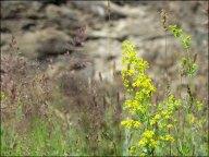 Gorges de Chuluut - Fleurs