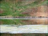 Lac Khovsgol - Sur la route entre Bulgan et lac Khovsgol, troupeaux d'animaux