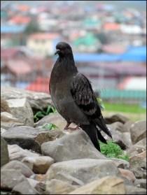 Oulan-Bator - Look-out sur Oulan-Bator, pigeon