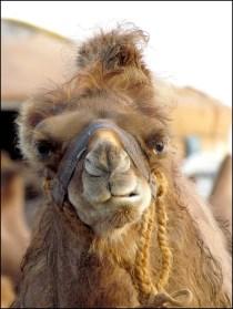 Sur la route proche Tsagaan Suvraga - Campement, chameaux