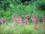 Parc national de Chitwan - Jungle, balade, cerfs