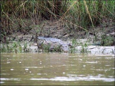 Parc national de Chitwan - Jungle, balade, crocodile