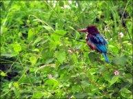 Parc national de Chitwan - Jungle, balade, oiseau 'Martin-chasseur de Smyrne'