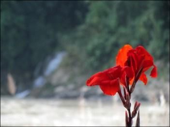 Rivière Trisuli - fleurs