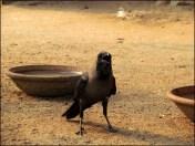 Delhi - Au hasard des rues, corbeau
