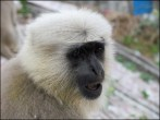 Rishikesh - Au hasard des rues, singes