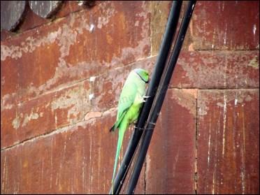 Varanasi - Au hasard des rues, oiseaux, perroquets