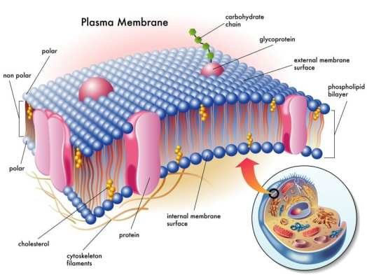Image result for cell membranes phosphatidylcholine