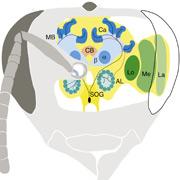 Маленький шедевр природы: мозг пчелы объёмом всего 1 мм3 содержит зрительные доли (участки LA, ME и LO), обладающие схемами для опознания цвета, детекции движения, определения граней и фиксации поляризации, грибовидное тело (MB), отвечающее за обучение и память, чашечки (Ca), включающие нейроны, необходимые для восприятия механических воздействий, антеннальные доли (AL) и ряд других специализированных отделов (иллюстрация Current Biology).