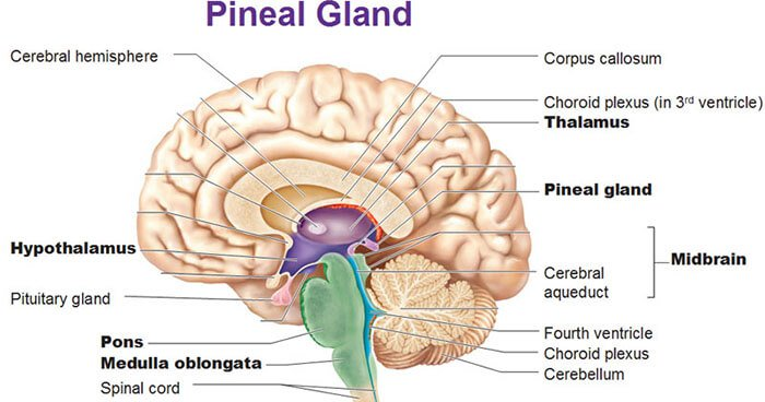 Pineal Gland – The Gateway to Expanded Consciousness – The Human Brain Series – Part 20