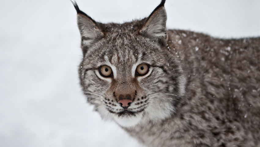 Wild Iberia: Mystery Of The Lynx (2015) – A documentary on the worlds rarest and most endangered cat.