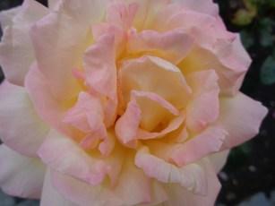 A rose ...