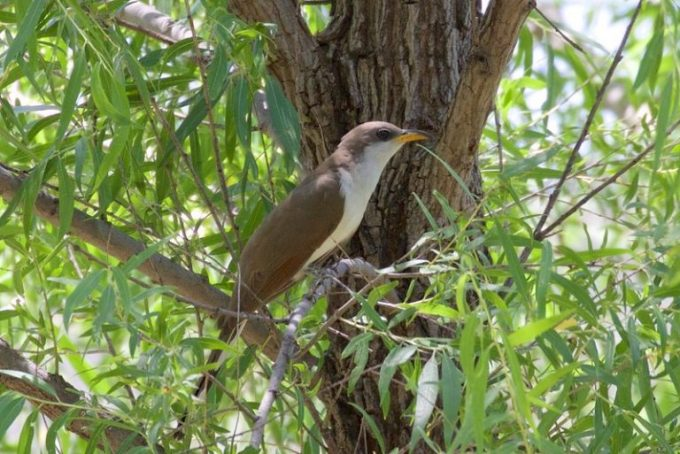 A yellow-billed cuckoo in the Gila National Forest, N.M. Photo by Bettina Arrigoni, (CC BY 2.0)