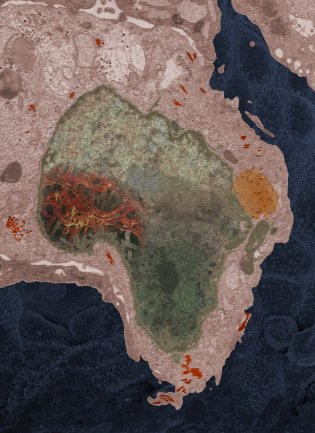 In 2014, Elizabeth Fischer received a sample of Ebola from a 2-year-old girl in Mali. The cell border and nucleus shape resemble the shape of Africa.(COURTESY OF ELIZABETH FISCHER)