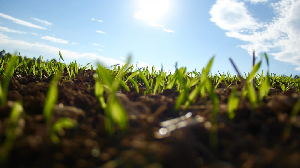 Crops protruding from soil