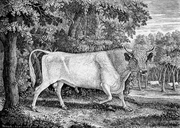 chillingham cow