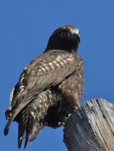 Hawk near Twisp. Photo by Sue Misao