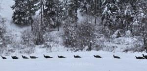 Wild turkeys trudging through snow on Libby Creek. Photo by Sue Misao